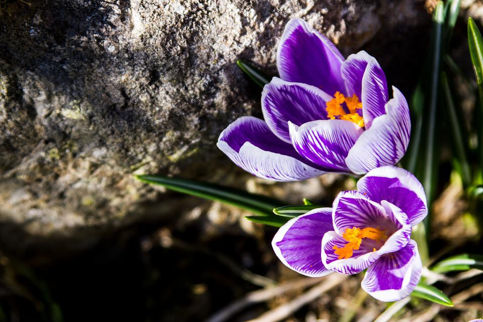 Spring, Flowers, Spring Flower, Crocus, Blossom, Bloom