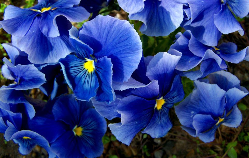 Pansy, Blue, Spring Flower