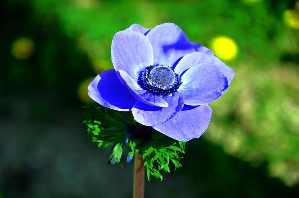Wind Flower, Blue, Spring Flower