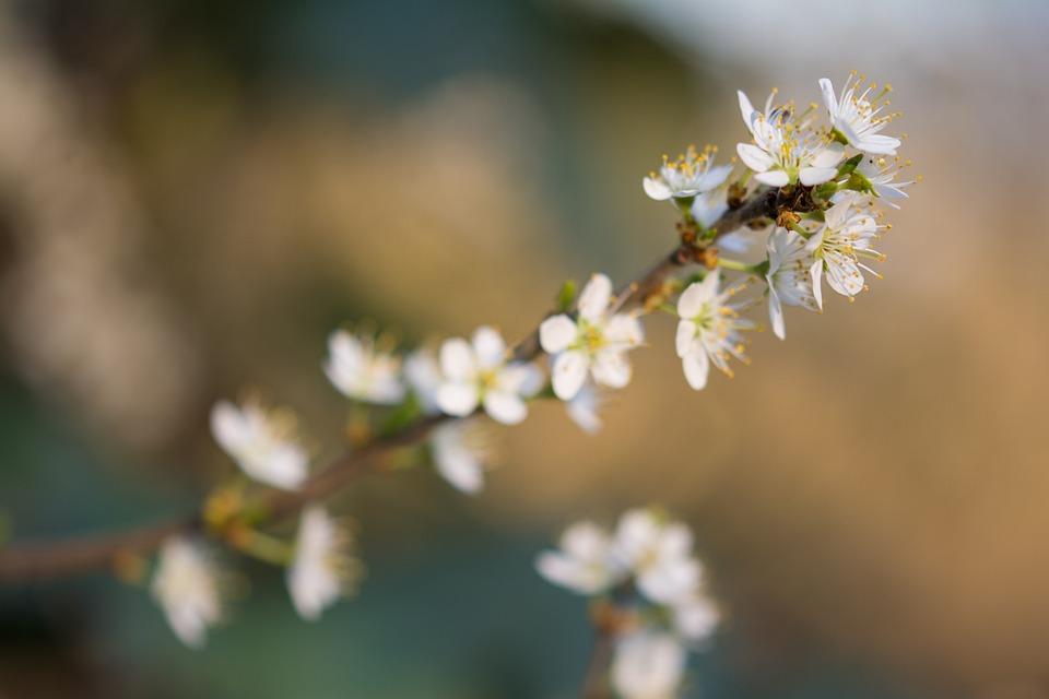 Blossom, Bloom, Flower, Spring, Cherry Blossom