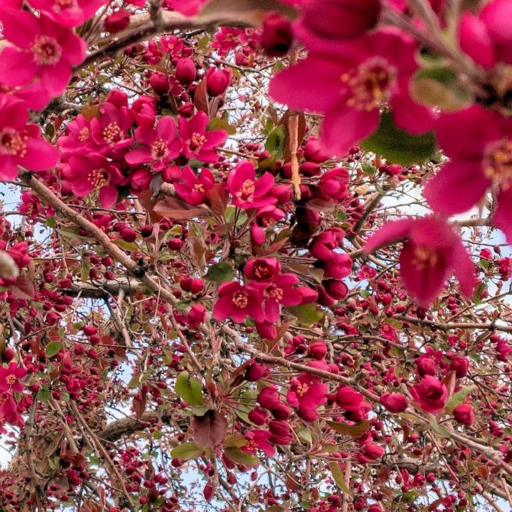 Crabapple, Blossoms, Tree, Spring, Pink, Flower, Nature