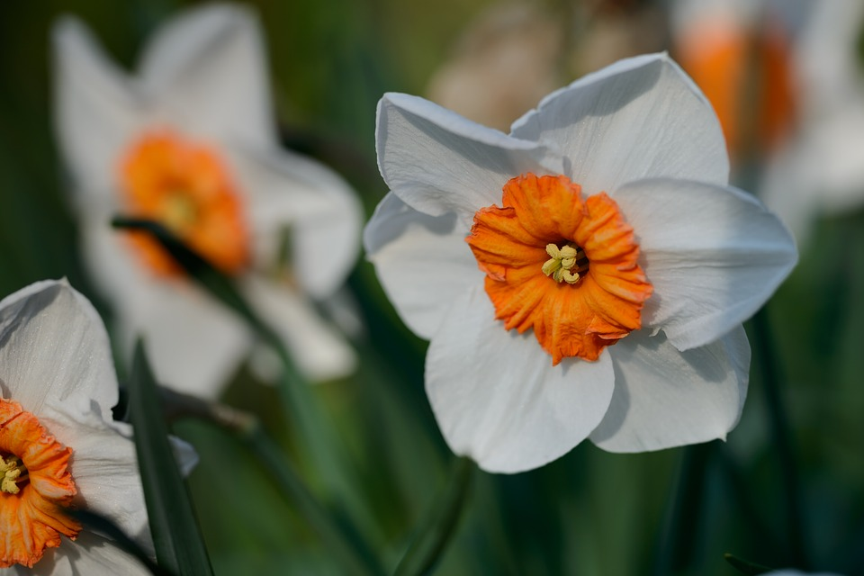 Free Photo Spring Flower Daffodil Daffodils Narcissus Flowers Max