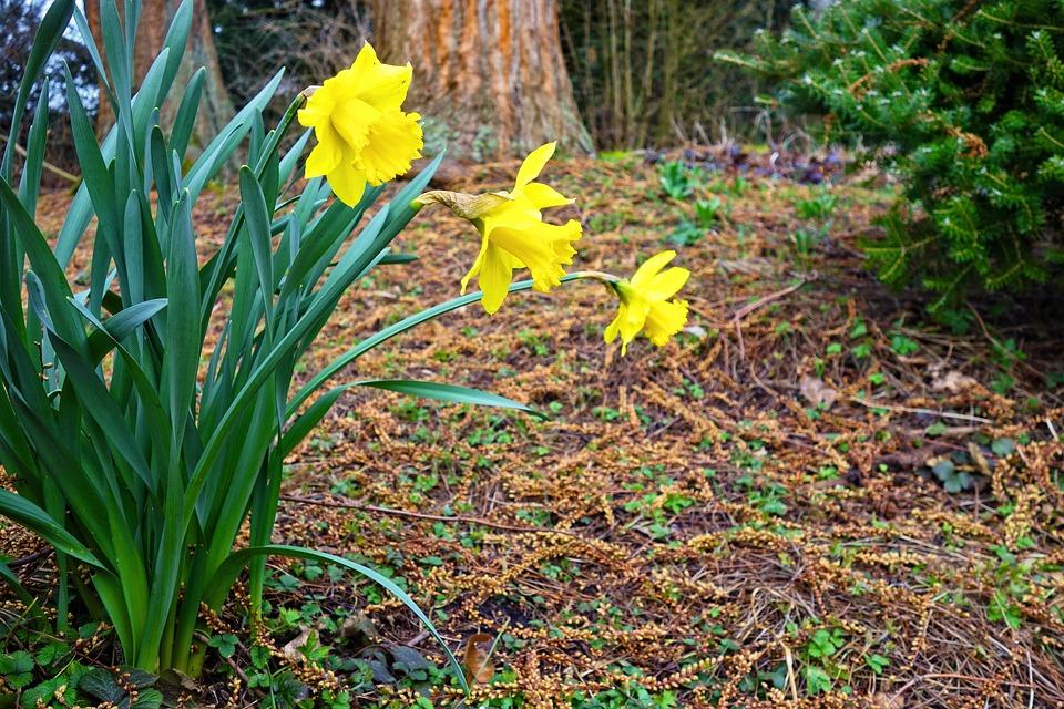 Daffodil, Flower, Bloom, Plant, Narcissus, Spring