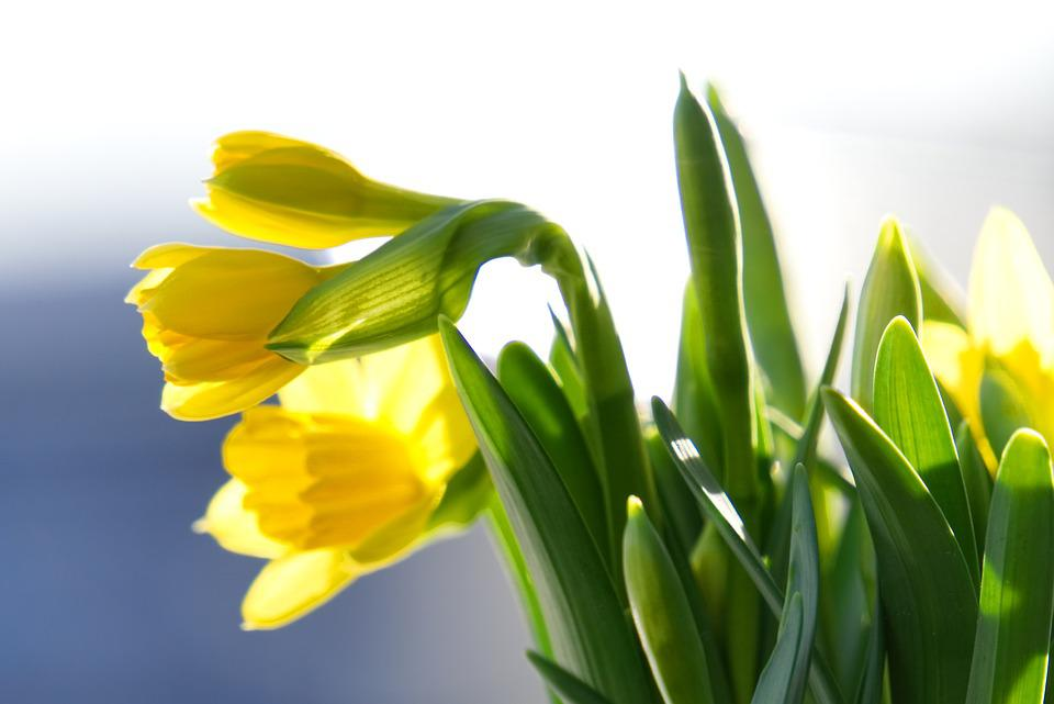 Daffodils, Early Bloomer, Flower, Narcissus, Spring