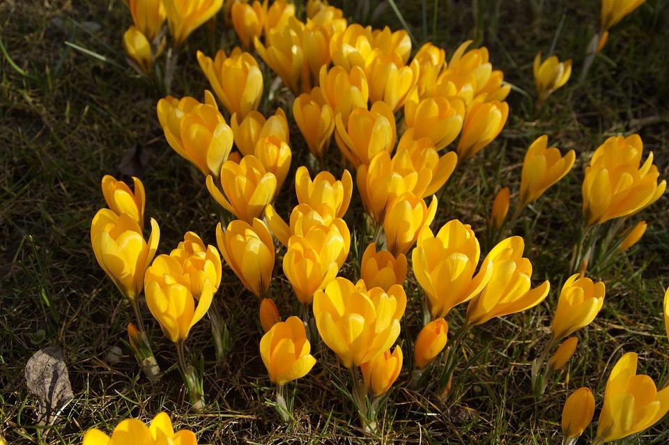 Nature, Plant, Flower, Field, Grass, Crocus, Spring