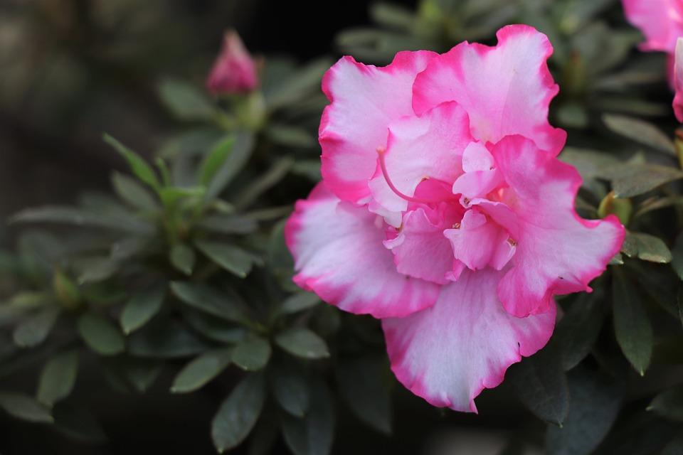 Flower, Pink, Nature, Love, Flora, Petal, Spring