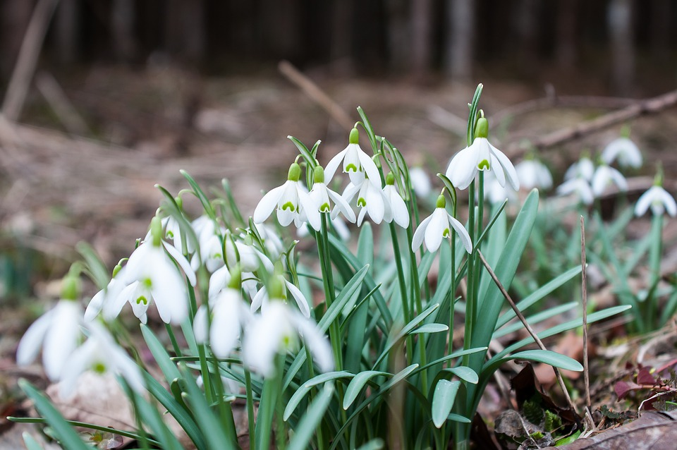 Snowdrop, Spring Flower, Flower, White, Bloom, Spring