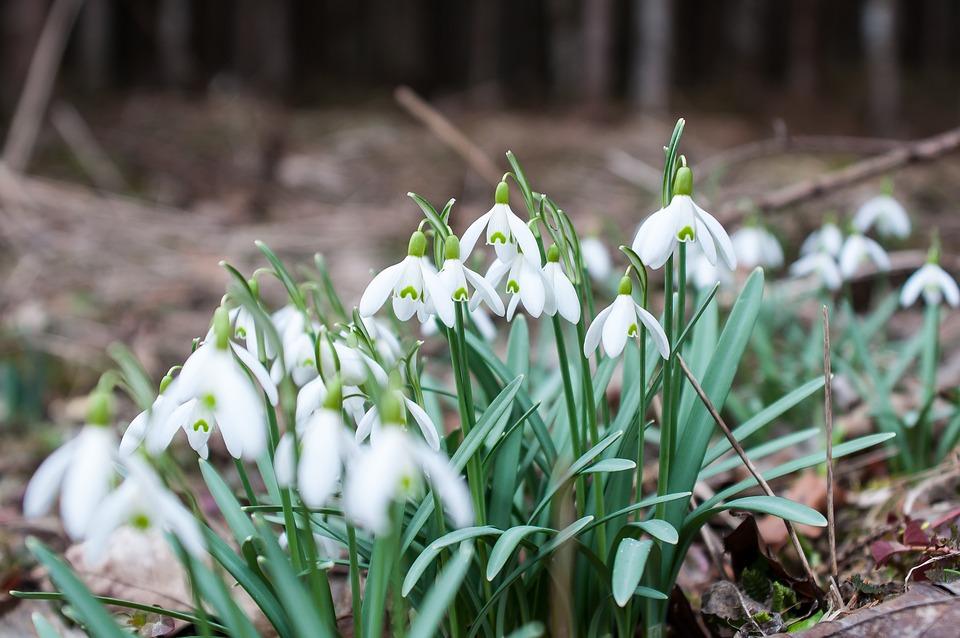 Snowdrop, Spring Flower, Flower, White, Bloom, Spring