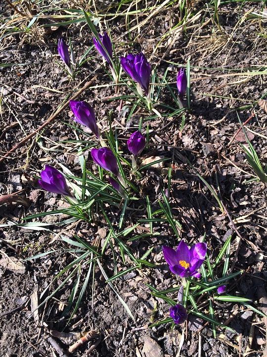 Crocus, Flower, Garden, Spring