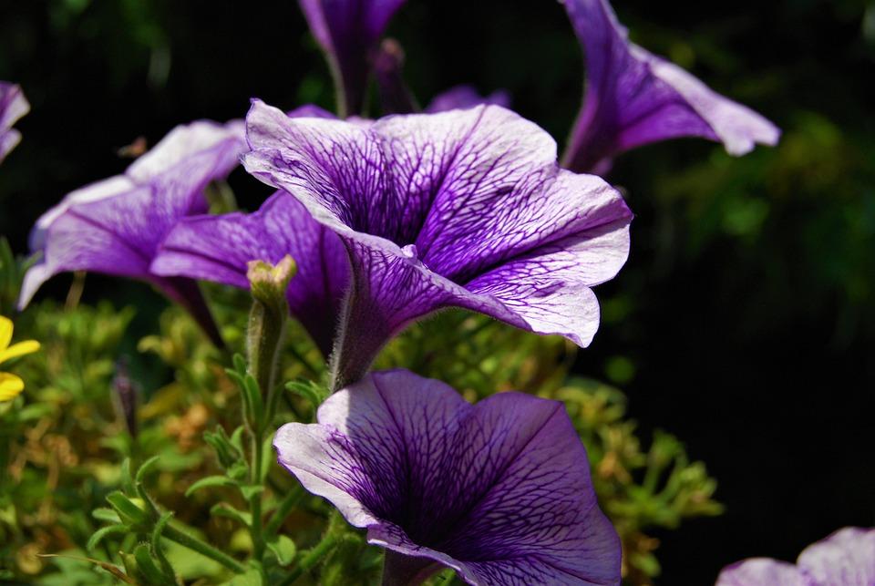 Flower, Violet, Nature, Flowers, Garden, Rosa, Spring