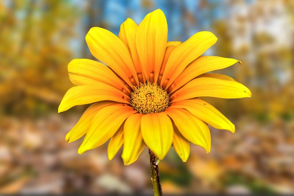 Flower Gérbel, Beautiful Flower, Nature, Spring