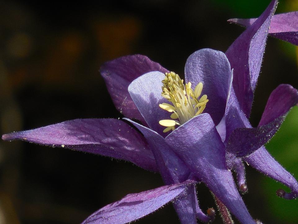 Columbine, Flower, Plant, Petal, Spring, Blossom, Green