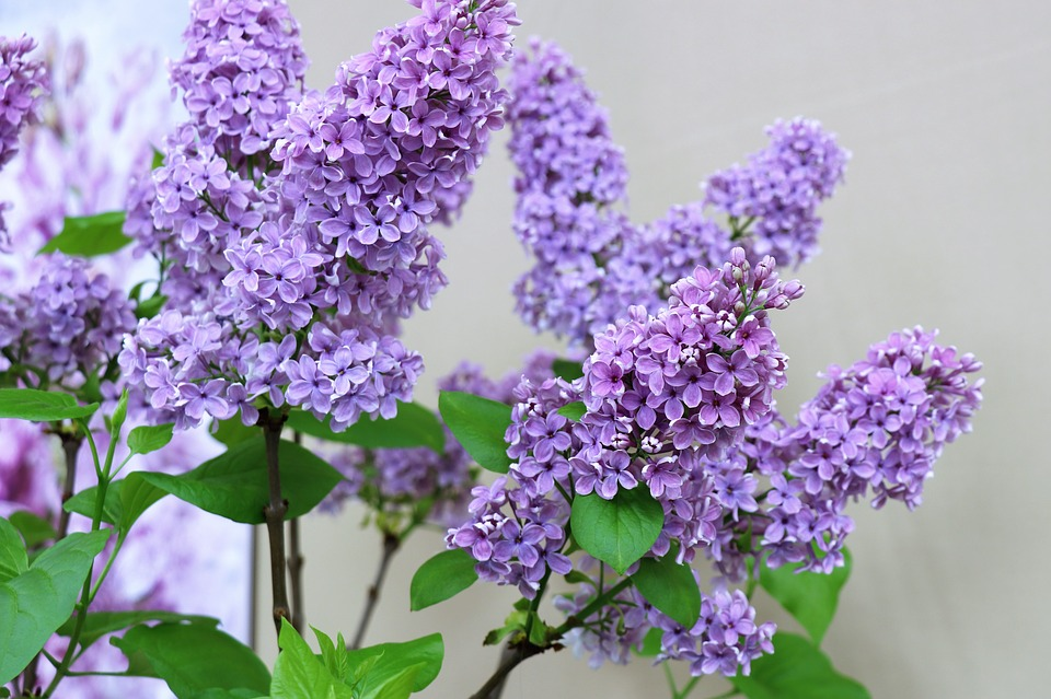 Lilac, Spring, Flowers, Flower, Purple, Flora, Nature