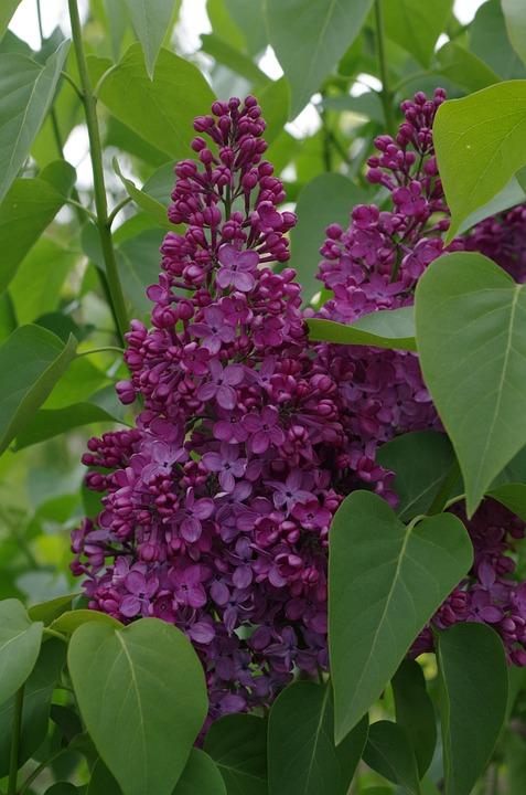 Lilac, Purple, Spring, Flower, Tree