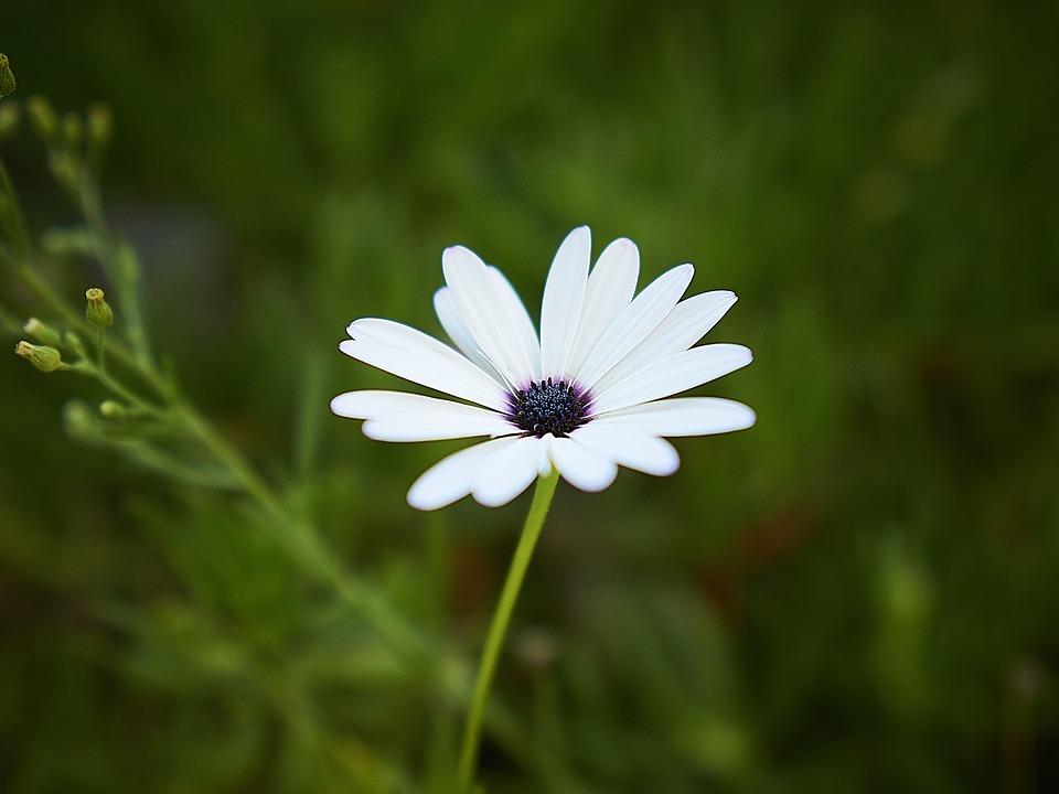 Marguerite, Flower, Garden, Nature, Petals, Spring