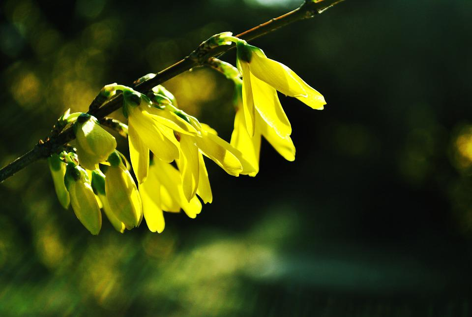 Forsythia, Flower, Natural, Spring