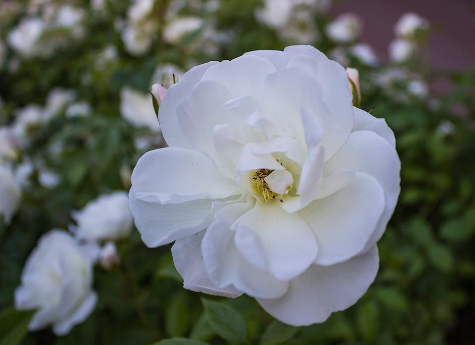 Summer, Spring, Garden, Nature, Close-up, Flower, Bloom