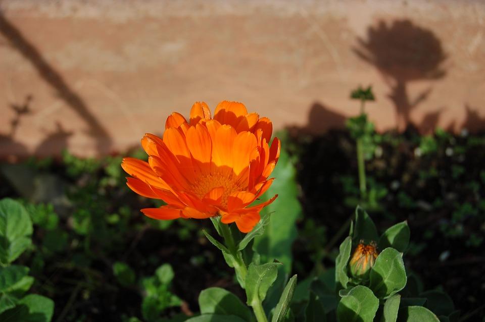 Flower, Nature, Calendula, Spring