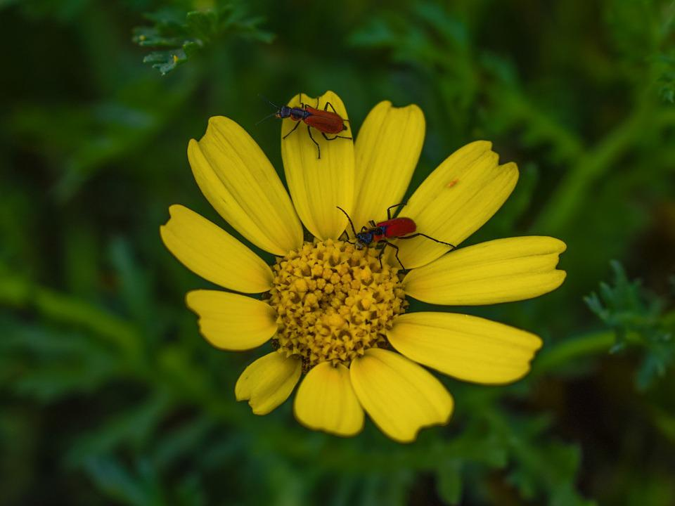 Nature, Flora, Flower, Spring, Pollen, Insect, Beetles