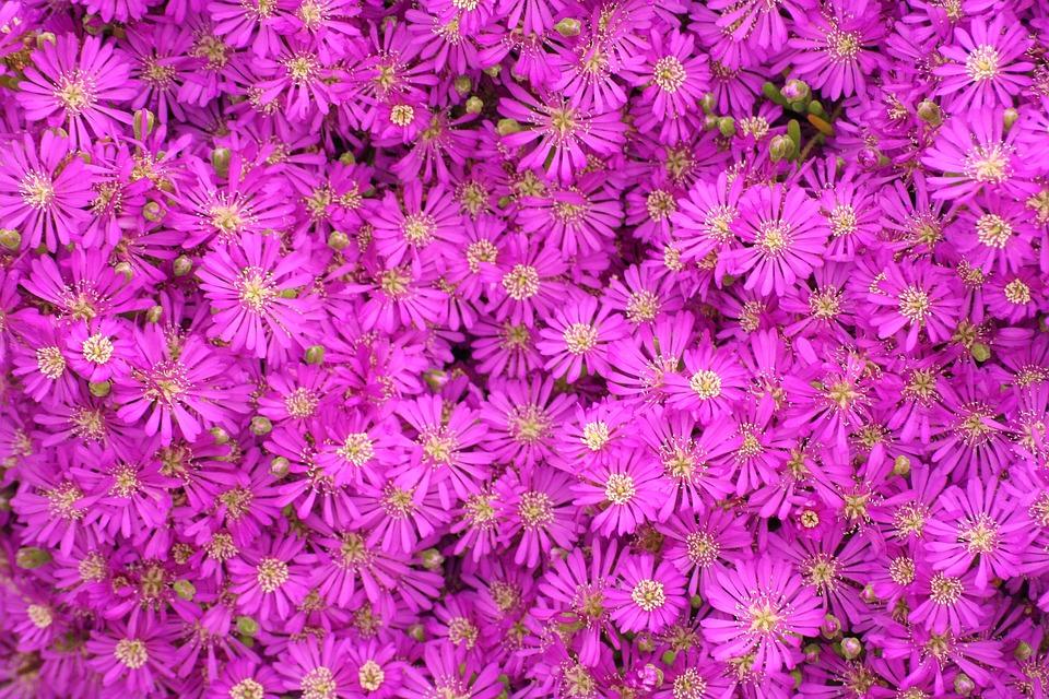 Flower, Nature, Pink, Spring
