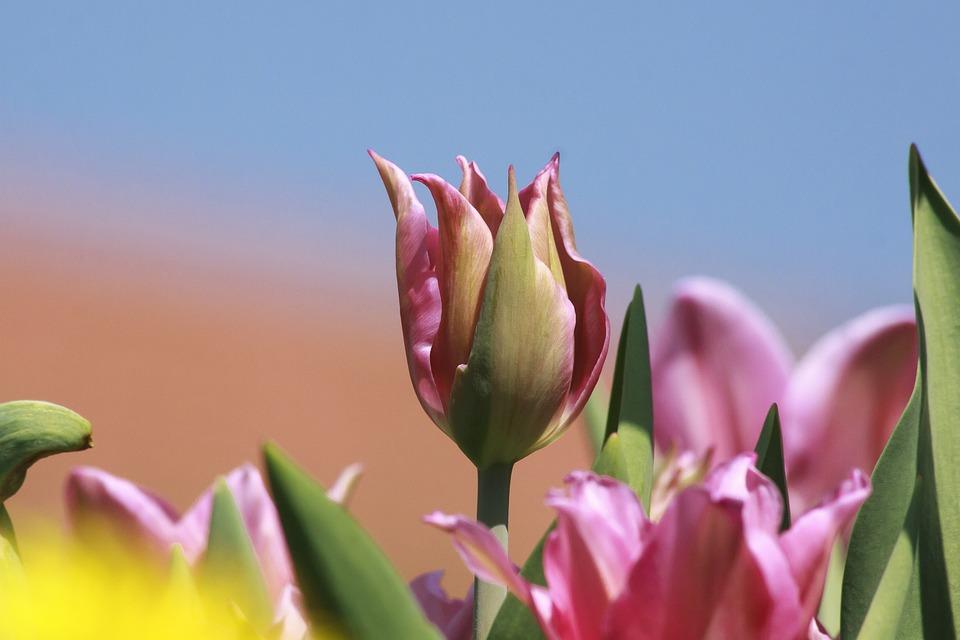 Tulip, Lilies, Spring, Nature, Flower, Schnittblume
