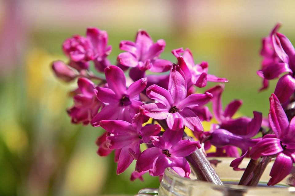 Hyacinth, Flower, Fragrant Flower, Spring Flower, Pink