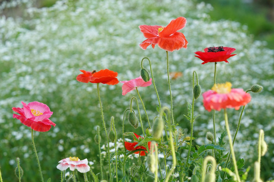 Poppy, Nature, Flower, Garden, Summer, Spring