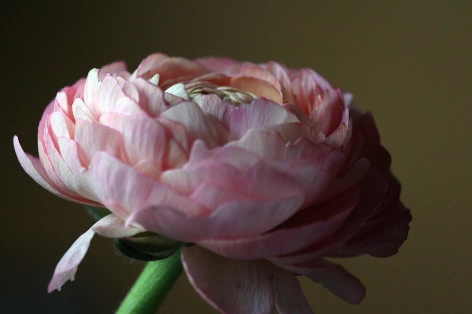 Ranunculus, Spring Flower, Flower, Spring, Nature