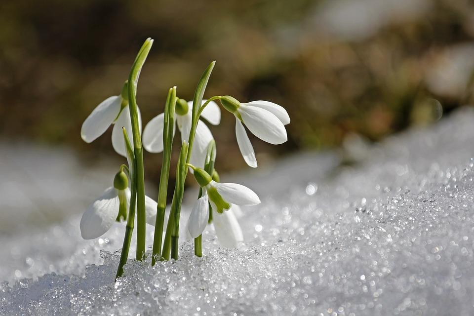 Spring, Snowdrop, Flower