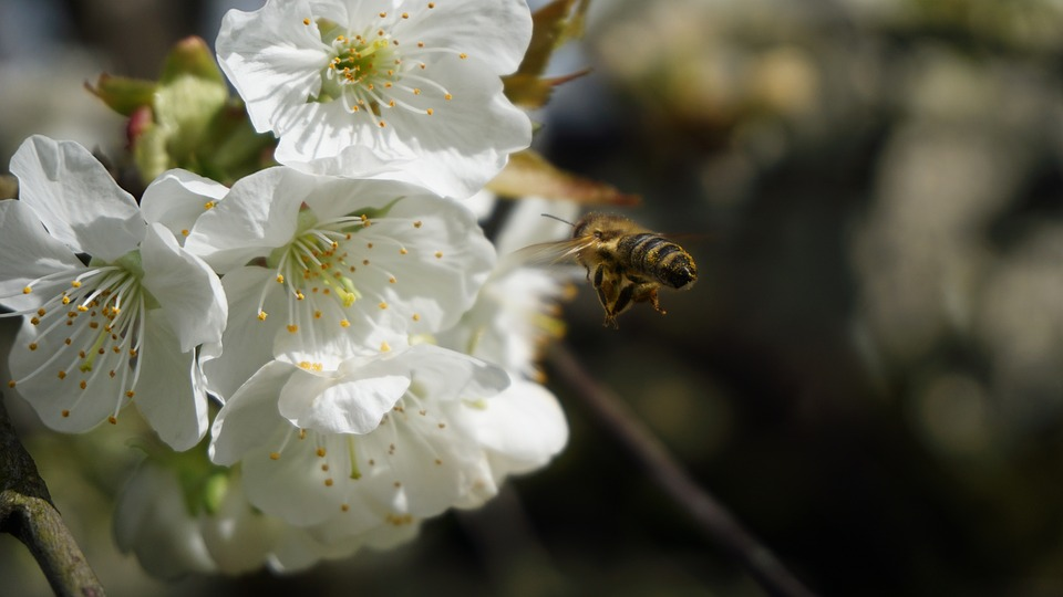 Bee, Cherry Blossom, Nature, Spring, Flower, Tree