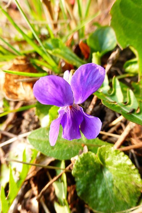 Violet, Purple, Spring Flower, Park, Spring, Summer