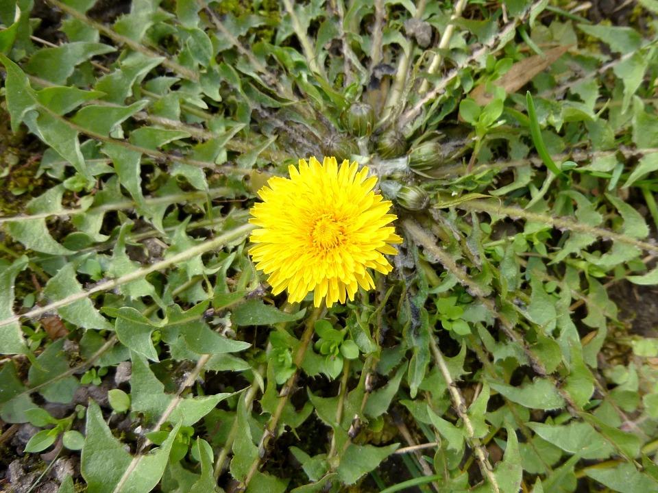 Free Photo Spring Flower Weed Dandelion Yellow Flower Nature Max Pixel