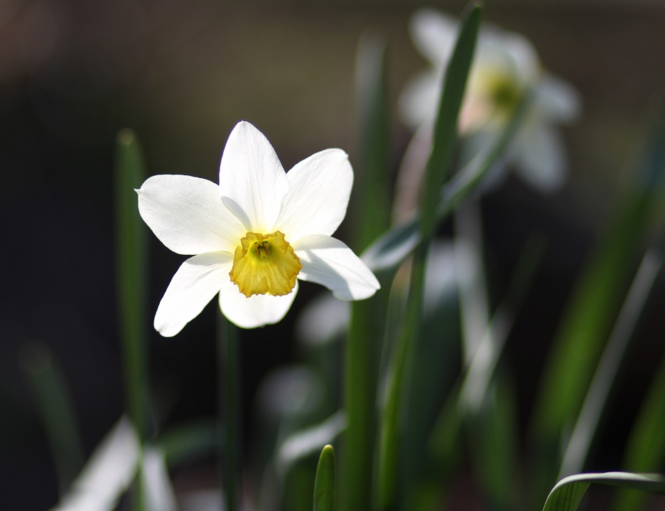Free photo spring flower white daffodil supplies max pixel daffodil flower white supplies spring mightylinksfo