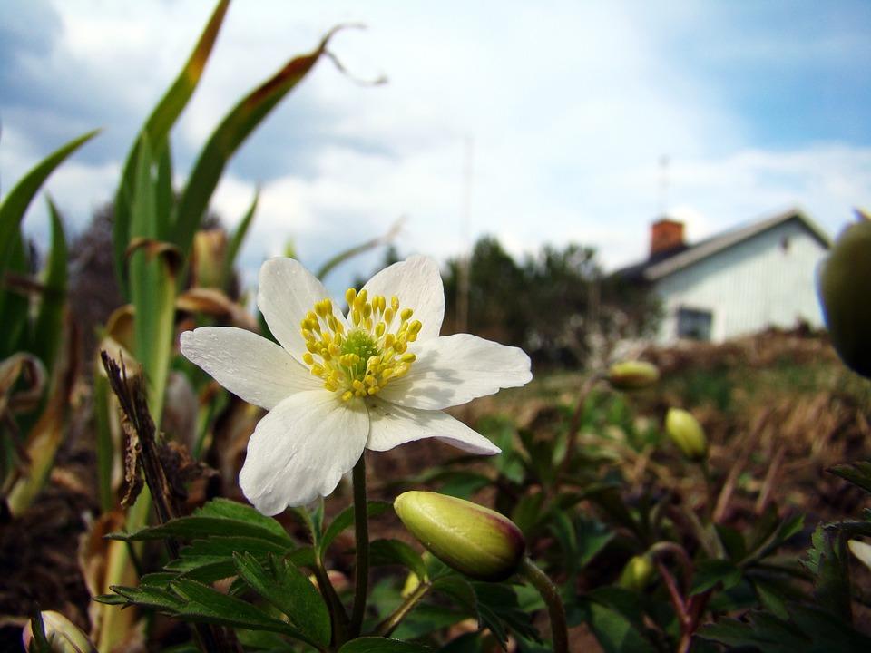 Wood Anemone, Flower, Early Summer, Spring Flower