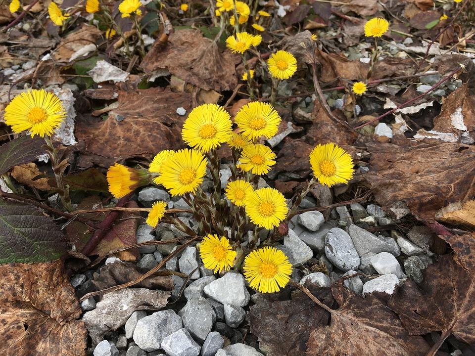 Tussilago Farfara, Spring, Yellow, Flower, Close Up