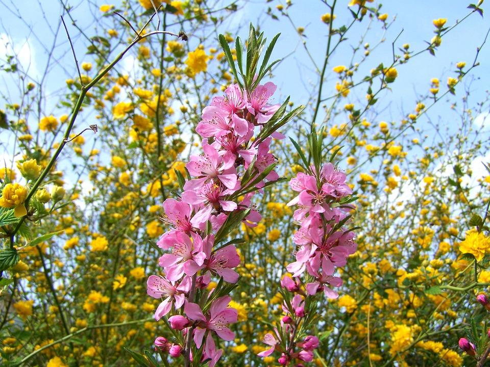 Flowering Almond Shrub Branches, Pink, Spring