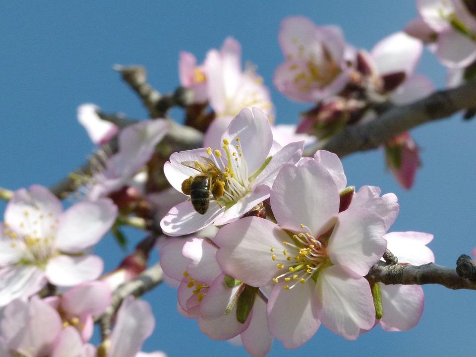 Flower, Almond Tree, Flowering, Branch, Spring