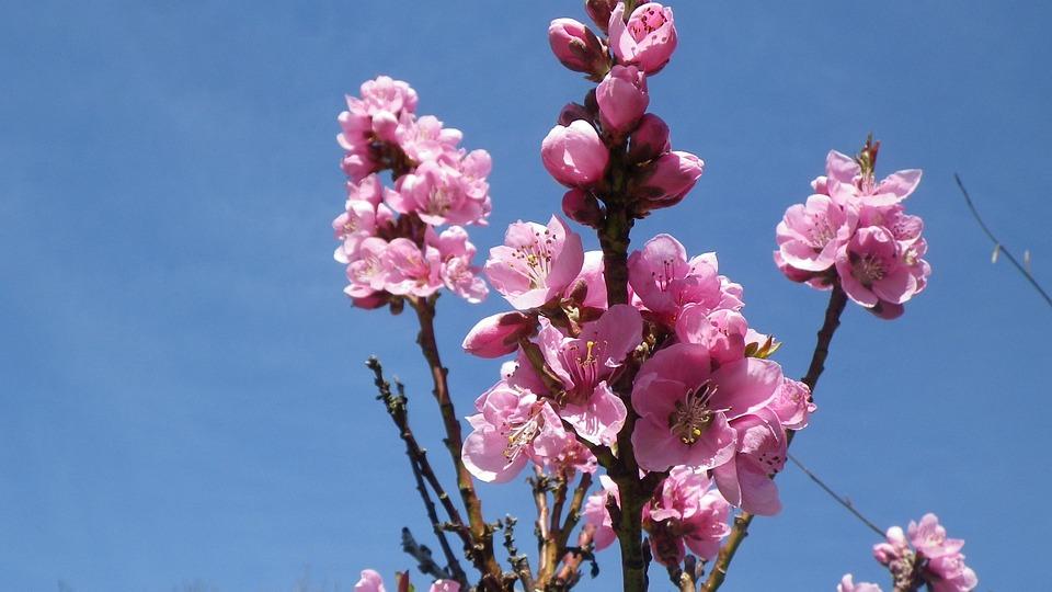Flower, Pink, Sky, Nectarine, Spring, Flowering, Nature
