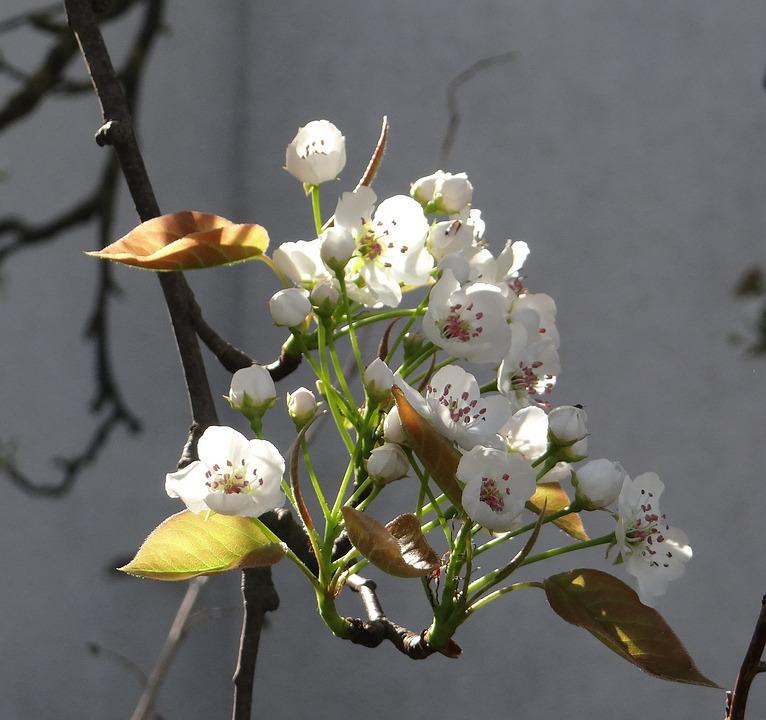 Komoi, Pear, Apple, Spring, Flowering Twig, Flowers