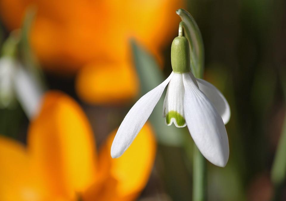 Snowdrop, Blossom, Bloom, Flowers, Flower, Spring