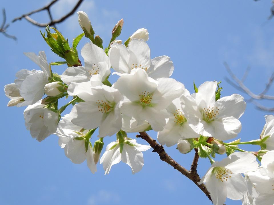 Cherry, Spring Flowers, Spring In Japan
