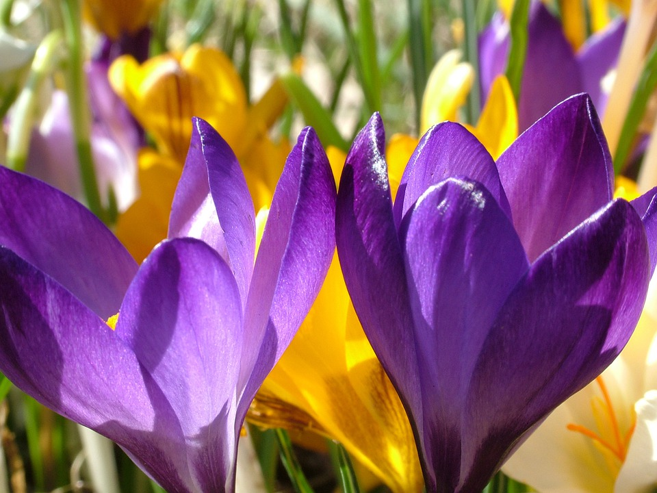 crocus flowers colorful color spring nature