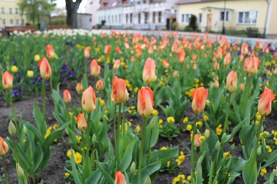 Flowers, Tulips, Flower Bed, Spring, Spring Flowers