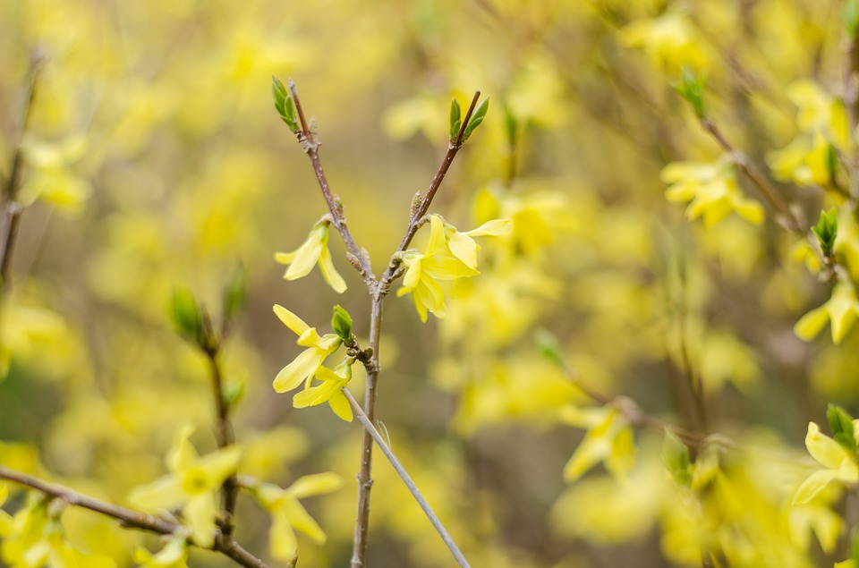 Forsythia, Yellow Flower, Spring, Spring Flowers