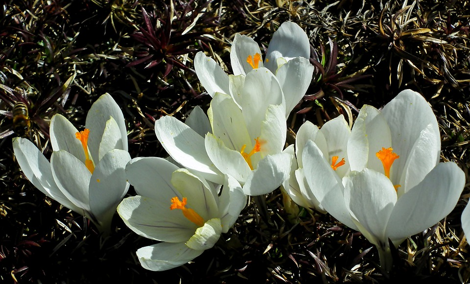 Crocus, Flowers, White, Spring, Garden, Beautiful