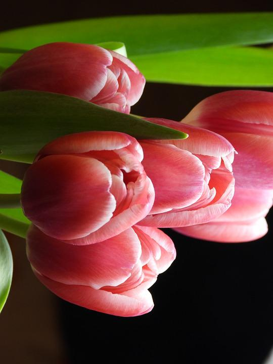 Tulips, Flowers, Spring, Bouquet, Garden, Figure, Plant