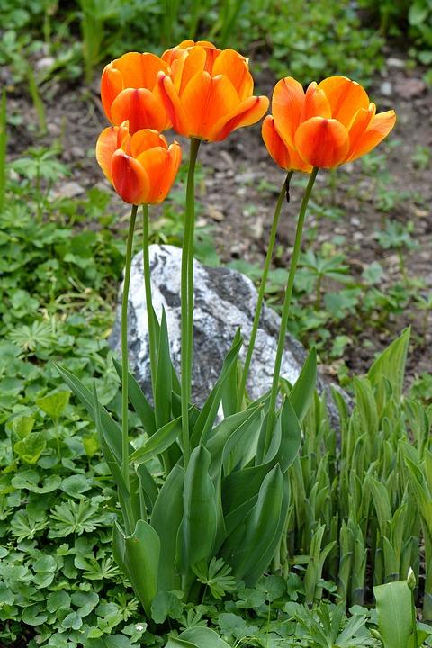 Tulips, Flowers, Orange, Garden, Spring, Spring Flowers