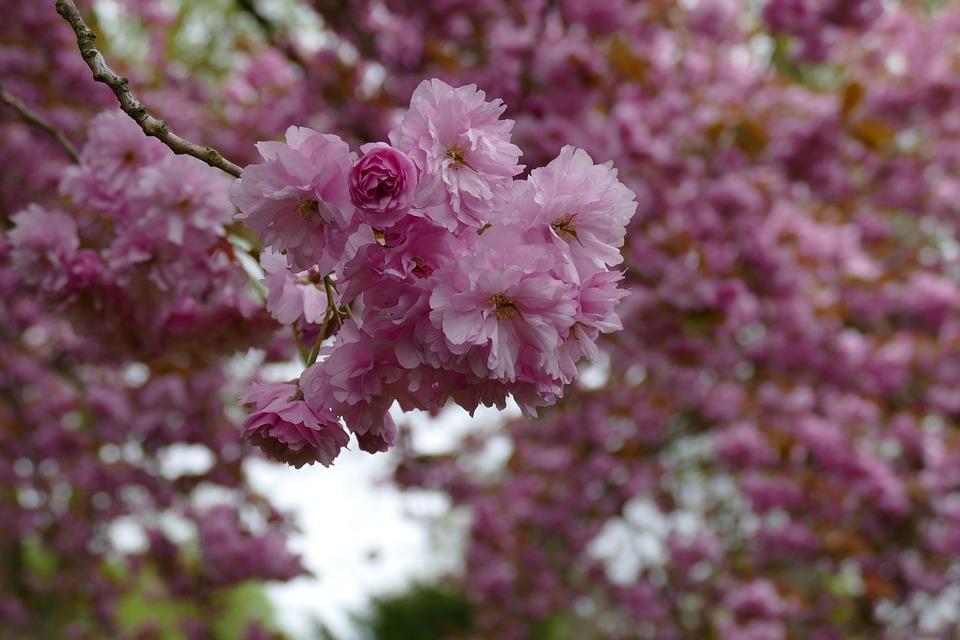 Flowers, Trees, Cherry Blossom, Spring, Garden, Park