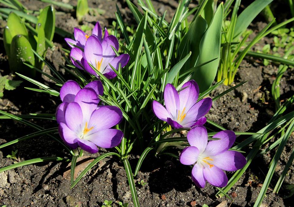 Crocus, Saffron, Violet, Spring Flowers, Krokus