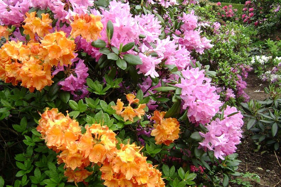 Large-flowered Azaleas, Flowers, Spring